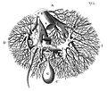 "F. Glisson, plate I,""Anatomia hepatis"" Wellcome L0013985.jpg"