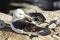 FAL-2016-New Island, Falkland Islands-Black-browed albatross (Thalassarche melanophrys) 03.jpg