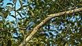 Fairy bluebird 2.jpg