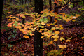 Fall-yellow-green-leaves - West Virginia - ForestWander.png