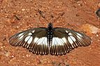 False chief (Pseudacraea lucretia lucretia) male.jpg
