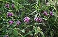 Fedia cornucopiae 2.jpg