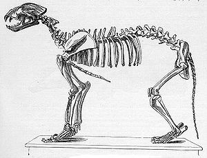 Panthera leo spelaea - Skeletal diagram