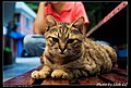 Felis silvestris catus (4981671852).jpg