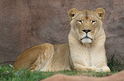 Female African Lion (Panthera leo) (0347) - Relic38