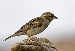 Female House Sparrow 2 (Passer domesticus).jpg