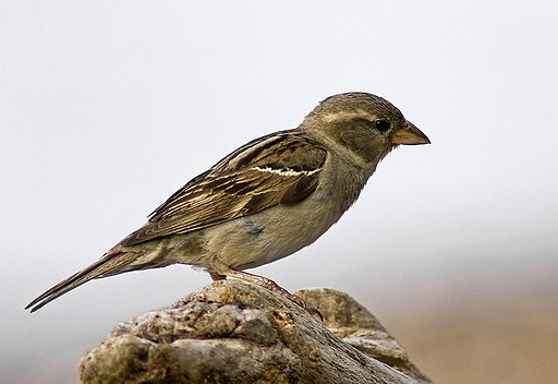 Female House Sparrow 2 (Passer domesticus)