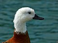 Female Paradise Shelduck (8234598114).jpg