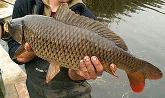 Angling records in the UK - Image: Feral Carp