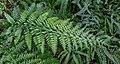 Fern, Fern House (Christchurch Botanic Gardens), New Zealand 02.jpg