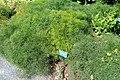 Ferula communis - Coastal Maine Botanical Gardens - DSC03240.jpg