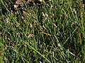 Fewflower spikerush, Eleocharis quinqueflora (16718879103).jpg