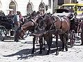 Fiaker horses in heat.jpg