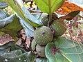 Ficus lyrata - fruit (Gardenology.org).jpg