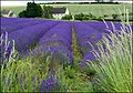 Field of Lavender ready to crop - geograph.org.uk - 1632437.jpg