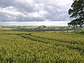 Field of Wheat, edge of Seaton village - geograph.org.uk - 484659.jpg