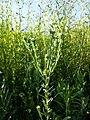 Filago vulgaris sl318.jpg