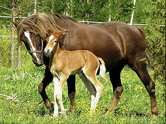 Horse breeding - A foal with its mother, or dam