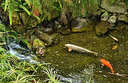 Fish pond at the Gibraltar Botanic Gardens.jpg