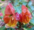 Fleurs d'un buisson parc de Bagatelle 2.JPG