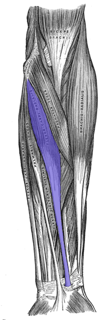 Flexor carpi radialis muscle - Anterior view of the left forearm. Superficial muscles. (Flexor carpi radialis and its tendon visible in blue.)