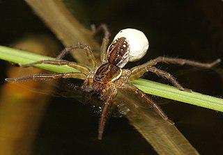 <i>Pirata</i> (spider)