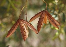 Flindersia dissosperma fruit.jpg
