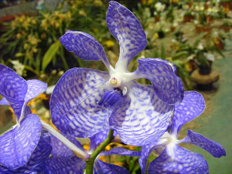 File:Flor de Orquídea - Orchid Flower.JPG