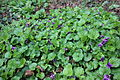 Flora della Sardegna 215 (02).JPG