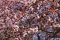 Flores duma amendoeira em Pedro Muñoz - 1.jpg