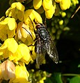 Fly on a flower drinking nectar, Sandy, Bedfordshire (8278410877).jpg