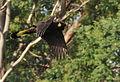 Flying Yellow-tailed black cockatoo 2 (Carrick).JPG