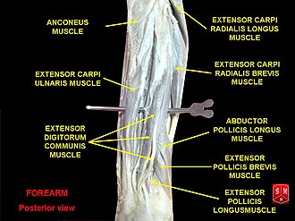 Extensor carpi radialis longus muscle - Image: Forearm posterior view
