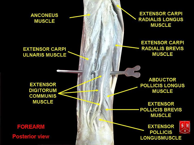 File:Forearm posterior view.jpg