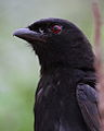 Fork-tailed Drongo, Dicrurus adsimilis, at Marakele National Park, Limpopo, South Africa (15787894324).jpg
