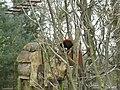 Fota Wildlife Park - Red Panda - panoramio (2).jpg