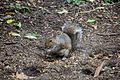 Fountains Abbey 2016 004 - Squirrel.jpg