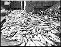Four thousand salmon on dock, ca 1905 (MOHAI 6113).jpg
