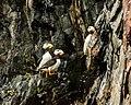 Frailecillos corniculados (Fratercula corniculata), Bahía de Aialik, Seward, Alaska, Estados Unidos, 2017-08-21, DD 84.jpg
