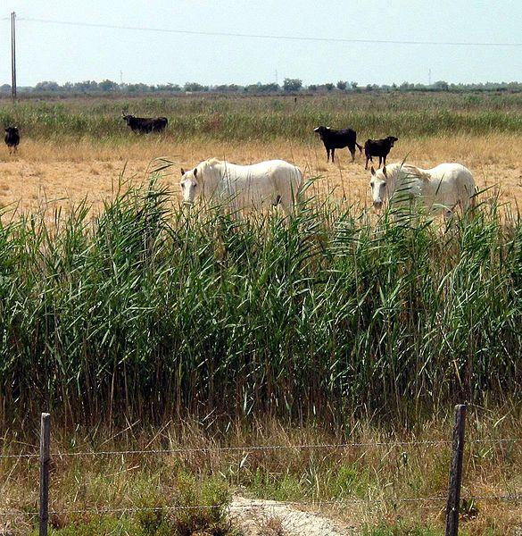 Image:France camargue horses bulls.JPG