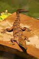 Frankfurt Zoo - Australian Freshwater Crocodile 3.jpg