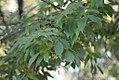 Fraxinus ornus - Jasen.jpg