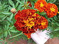 French Marigold from Lalbagh Flowershow - August 2012 095919.jpg