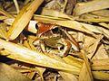 Froggy - Flickr - GregTheBusker.jpg
