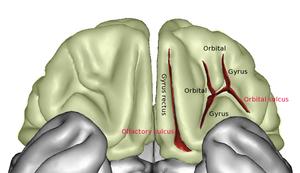 Orbital sulcus - Image: Frontal Capts Basal