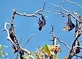 Fruit bats (31785627921).jpg