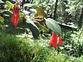 Fuchsia triphylla-yercaud-salem-India.JPG