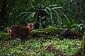 Fushan botanical garden Muntiacus reevesi.jpg