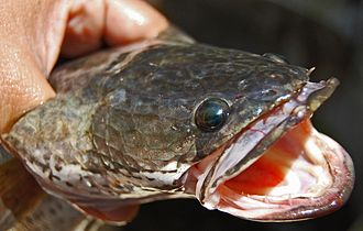 Snakehead (fish) - Snakehead murrel, Channa striata, Java, Indonesia