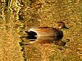 Gadwall at Sunset - Flickr - treegrow.jpg